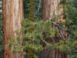 Giant Sequoia Trees Photographic Print by Jeff Foott
