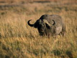 African Buffalo Photographic Print by Jeff Foott