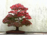 Bonsai Fall Foliage Photographic Print by L. Toshio Kishiyama