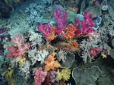 Brightly Colored Patches of Coral, Fiji Photographic Print