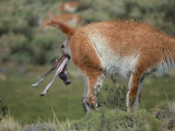 Guanaco Gives Birth Photographic Print by Jeff Foott