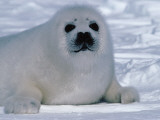 Harp Seal Pup Lays in Snow Photographic Print by Jeff Foott