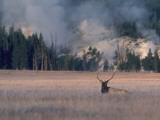 Elk Bugles in Field Photographic Print by Jeff Foott