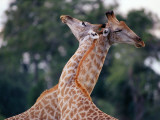 Giraffe with Friend Photographic Print by Jeff Foott