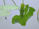 China, Zhejiang Province, Hangzhou, Lotus Leaf with Reflection on the West Lake Photographic Print by Keren Su