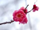 Plum Blossoms Photographic Print