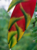 Heliconia Photographic Print by Jeff Foott
