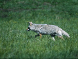 Coyote Hunting in Grass Photographic Print by Jeff Foott