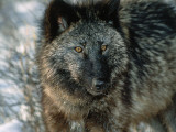 Detail of Gray Wolf Photographic Print by Jeff Foott