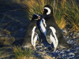 Magellanic Penguins Preening Photographic Print by Jeff Foott