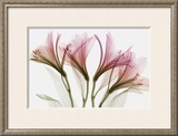 Alstromeria Prints by Steven N. Meyers