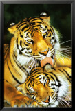 Tiger - Mothers Love Affiches
