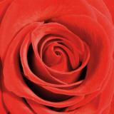 Scarlet Rose Posters by Joseph Eta