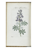 Almanach de Flore : Sapin &#224; fleurs bleues Giclee Print by Pancrace Bessa