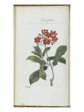 Almanach de Flore : Iatrophia Giclee Print by Pancrace Bessa