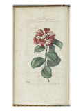 Almanach de Flore : Cam&#233;lia panach&#233; Giclee Print by Pancrace Bessa