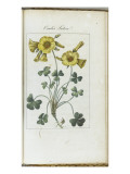 Almanach de Flore : Oxalis Luteal Giclee Print by Pancrace Bessa