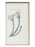 Almanach de Flore : Erica conventria Giclee Print by Pancrace Bessa