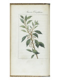 Almanach de Flore : Laurus Camphora Giclee Print by Pancrace Bessa