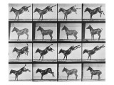"Album sur la décomposition du mouvement : ""Animal locomotion"", 1872/85.:  Ruade de l'âne Giclee Print by Eadweard Muybridge"