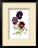 Swiss Giant Chalon Pansies Limited Edition Framed Print by Pamela Stagg
