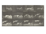 Biches, course et sauts Giclee Print by Eadweard Muybridge