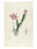 Cactus Speciosus Gicl&#233;e-Druck von Pierre Joseph Redout&#233;