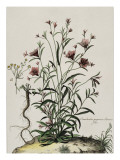Liseron Giclee Print by Nicolas Robert
