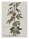 Clématite ou fleur de la Passion Giclee Print by Nicolas Robert