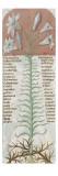 Liber Floridus by Lambert of Saint-Omer: Fleur De Lys Giclee Print