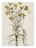 Lychnis Sicula Glabra, Facie Pseudomelanthij Lychnis Giclee Print by Nicolas Robert