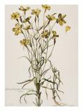 Lychnis Sicula Glabra, Facie Pseudomelanthij Lychnis Giclee Print by Nicolas Robert