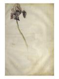 Un iris Giclee Print by Jacopo Bellini