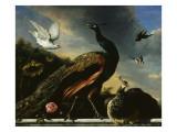 Paons, mâle et femelle Giclee Print by Melchior de Hondecoeter