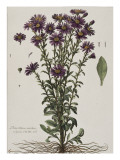 Aster &#224; fleur mauve Giclee Print by Nicolas Robert