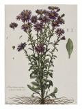 Aster à fleur mauve Giclee Print by Nicolas Robert