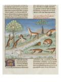 Le Livre de la chasse de Gaston Phébus : le renard et sa nature Giclee Print