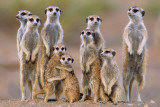 Suricates Affiche