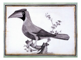Original Drawings of Ornithology Giclee Print by Mathurin-Jacques Brisson