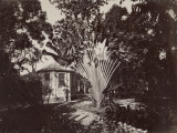 "West Indies, A ""Traveler""S Tree"" in the Botanical Garden of St. Pierre, Martinique Photographic Print"