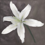 White Lily Print by Erin Clark
