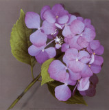 Purple Hydrangea Poster by Erin Clark