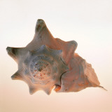 Conch Print by Tom Artin