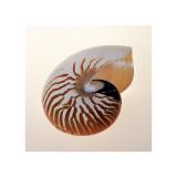 Nautilus Giclee Print by Tom Artin