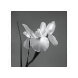 Iris I Giclee Print by Tom Artin