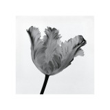 Parrot Tulip I Giclee Print by Tom Artin