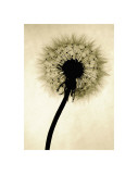 Backlit Dandelion Giclee Print by Jenny Kraft