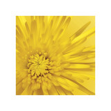 Yellow Mum III Giclee Print by Jenny Kraft