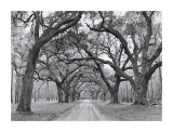 Oak Arches Giclee Print by Jim Morris