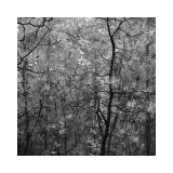 Pine Bramble Giclee Print by Erin Clark